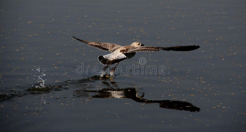 Download Flight of gull stock photo. Image of water, larus, smooth - 25942000