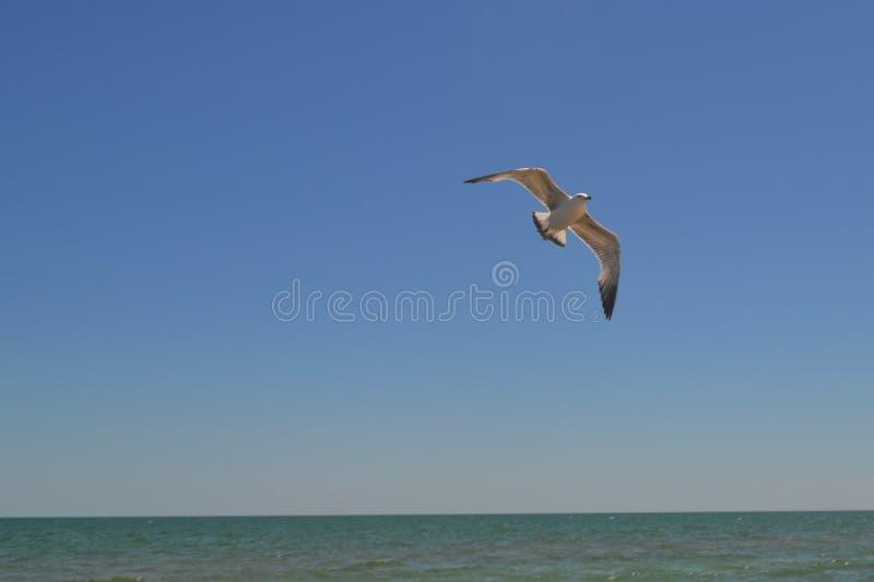 Flight of gulls stock image