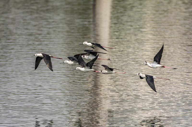 Flight : Himantopus himantopus or Black Winged Stilts. The black-winged stilt Himantopus himantopus is a widely distributed very long-legged wader in the avocet royalty free stock photography