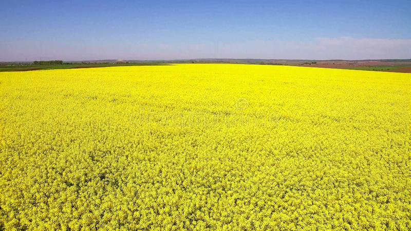 Flight over Field with flowering Canola flowers. Aerial footage. stock photo