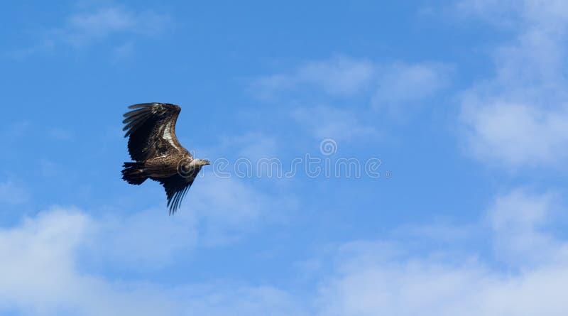 Flight of rock eagle stock image