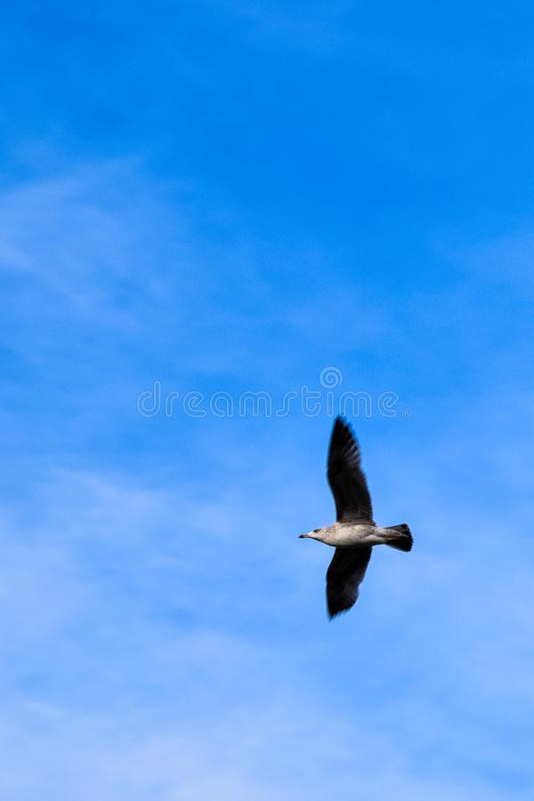 The flight of the Seagull royalty free stock image