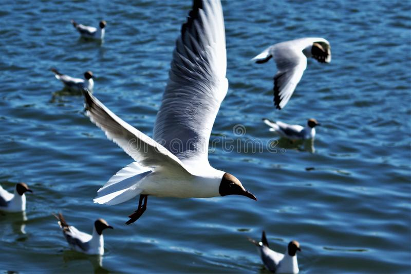 Flight of seagulls over the blue smooth water stock photo
