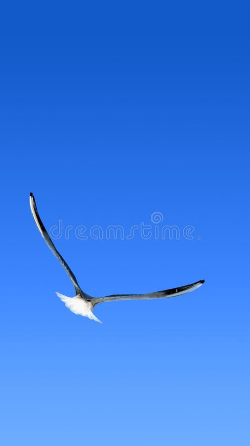 Flight. Smartphone wallpaper. Flight. Wallpaper for smartphones. Flying seagull with spread wings viewed from the back on blue sky. Vertical high resolution UHD stock image