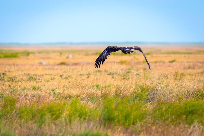 Flight of Steppe eagle or Aquila nipalensis. Animal, beak, bird, brown, hunter, predator, prey, raptor, closeup, big, fly, wild, wildlife, falconry, hawk stock image
