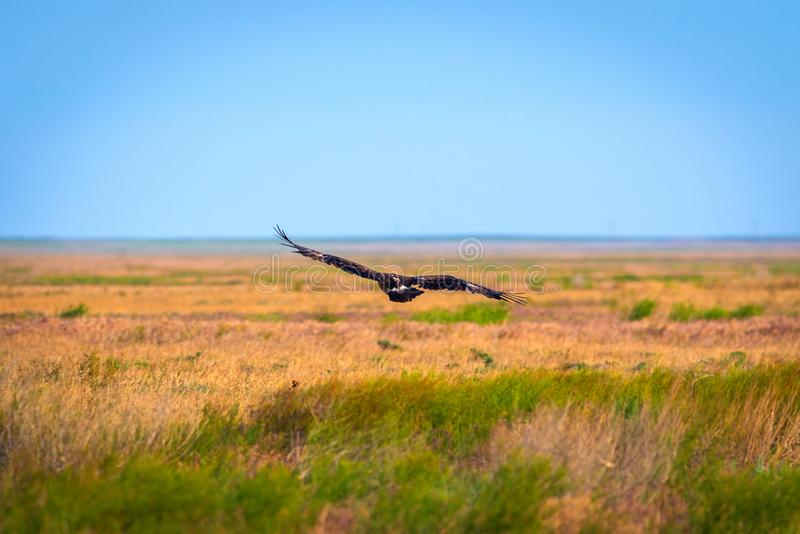 Flight of Steppe eagle or Aquila nipalensis. Animal, beak, bird, brown, hunter, predator, prey, raptor, closeup, big, fly, wild, wildlife, falconry, hawk royalty free stock photo