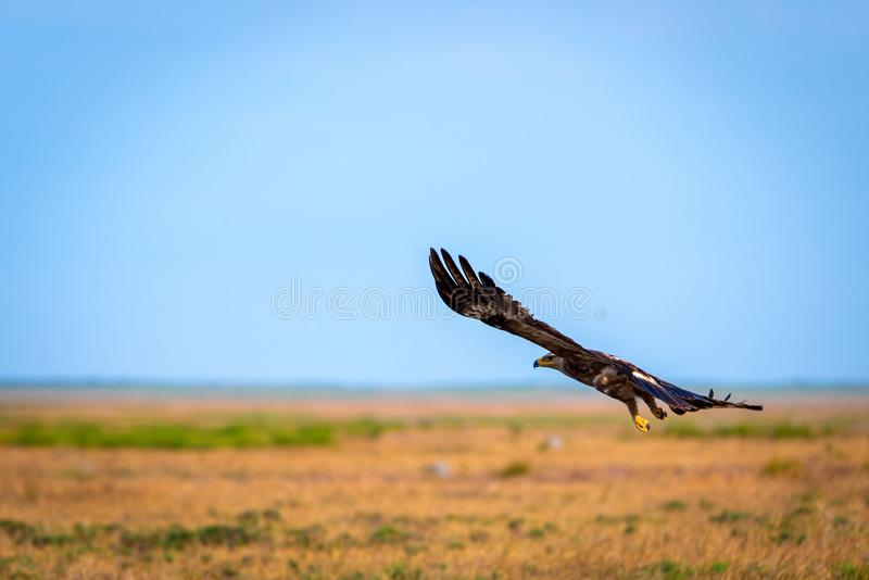 Flight of Steppe eagle or Aquila nipalensis. Animal, beak, bird, brown, hunter, predator, prey, raptor, closeup, big, fly, wild, wildlife, falconry, hawk royalty free stock images