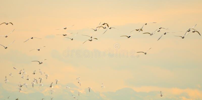 Flight of terns at dawn