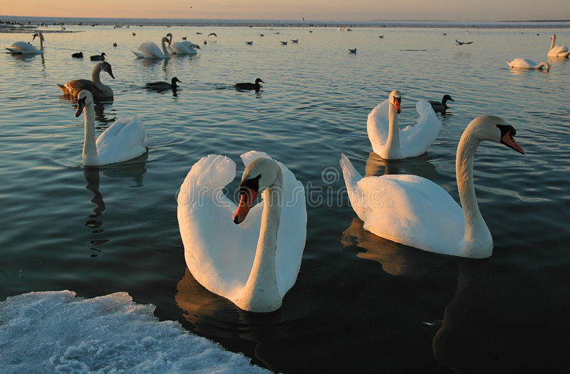 Flight of wild swans in a gulf. Flight of wild white swans in the winter in the Baltic gulf on a sunset among ice floes stock image