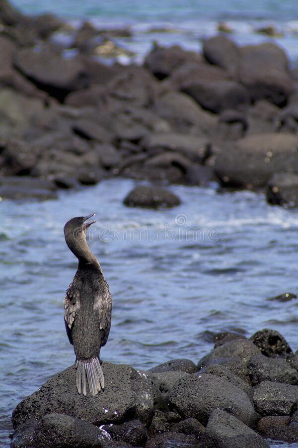 Flightless Cormorant  832727. Flightless Cormorant or Galapagos Cormorant showing short stubby wings on black lava of Fernandina Island in Galapagos Islands royalty free stock photo