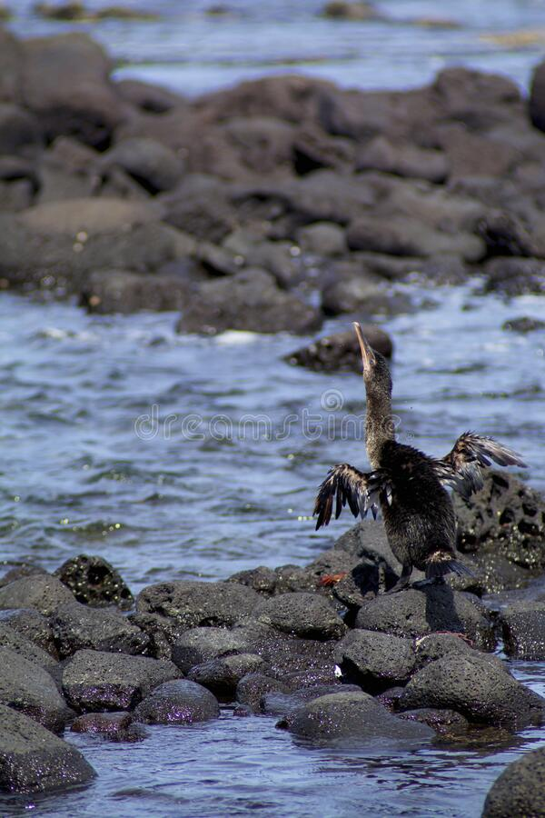 Flightless Cormorant  832730. Flightless Cormorant or Galapagos Cormorant spreading short stubby wings on black lava of Fernandina Island in Galapagos Islands royalty free stock images