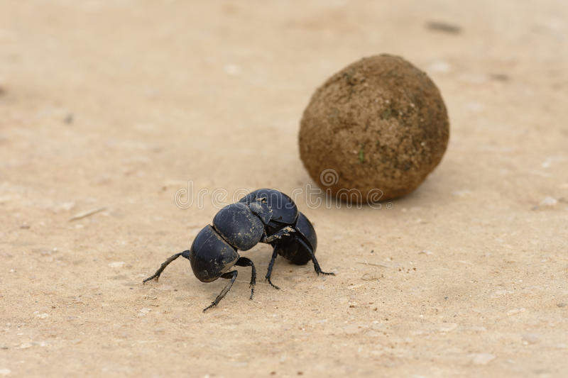 Flightless Dung Beetle, Addo Elephant National Park stock afbeelding