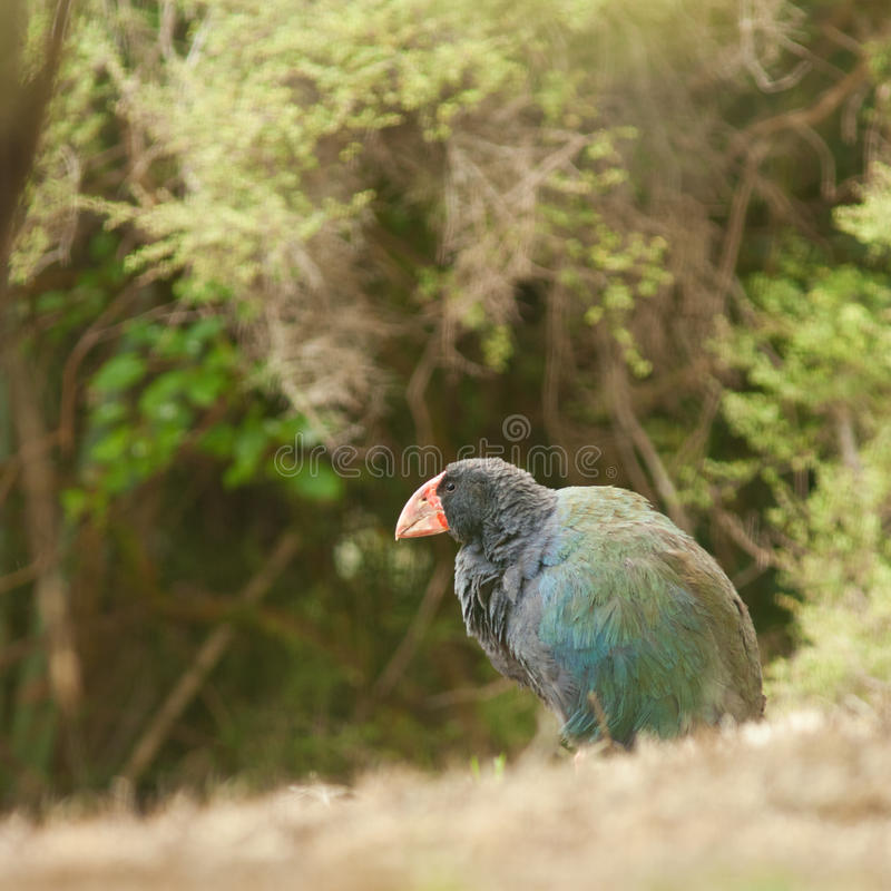 Flightless NZ Bird Takahe Porphyrio Hochstetteri Stock Image