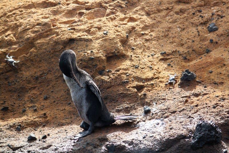 Flightlessaalscholvers (de Galapagos, Ecuador) royalty-vrije stock foto's
