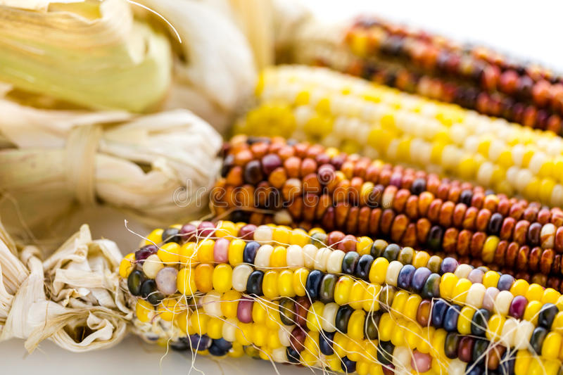 Flint corn. Multi colored indian corn made for Thanksgiving decoration royalty free stock image