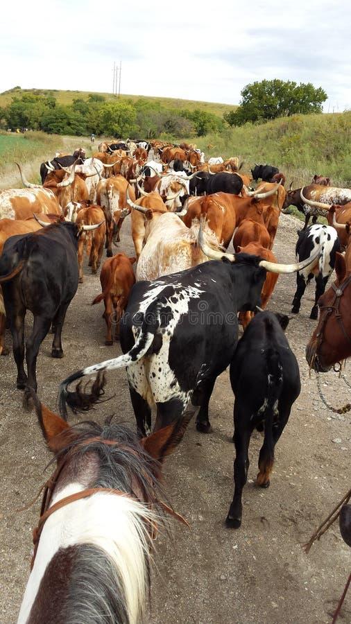 Flint Hills Cattle Drive lizenzfreie stockfotos