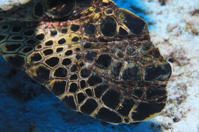 Flipper van Hawksbill zeeschildpad stock afbeelding
