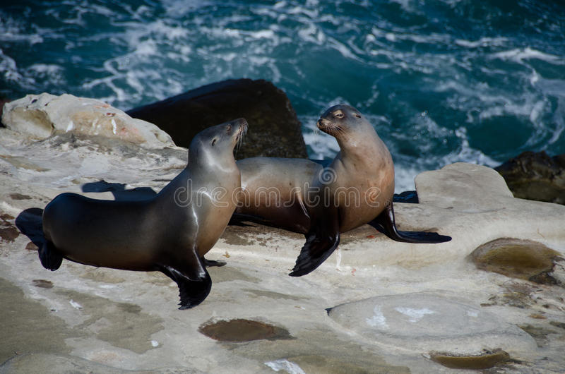 Flirting couple of California sea lions near La Jolla Cove. Mating couple of sea lions on rocks near La Jolla Cove next to Coast Blvd, La Jolla, San Diego royalty free stock image
