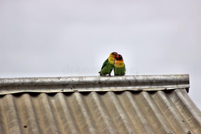 flirtować miłość ptaki zdjęcie stock