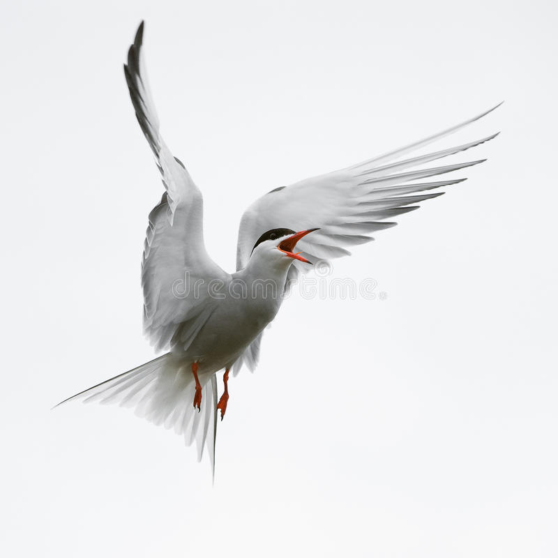 Free Flit Tern. Stock Photo - 15632550