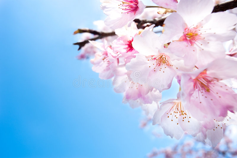 Flo dentellare e bianco del primo piano dei fiori di ciliegia della sorgente, fotografie stock libere da diritti