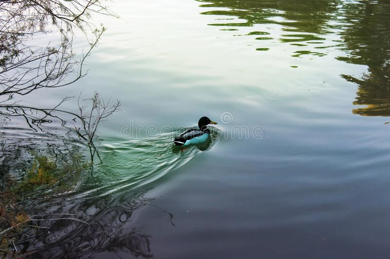 A floating bird in the Segua river stock image