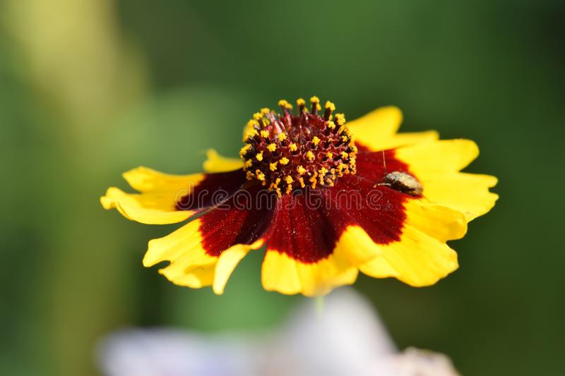 Floating Coepsis with Beetle. Yellow and Maroon Coepsis flower with beetle floating in a blurry background stock photo