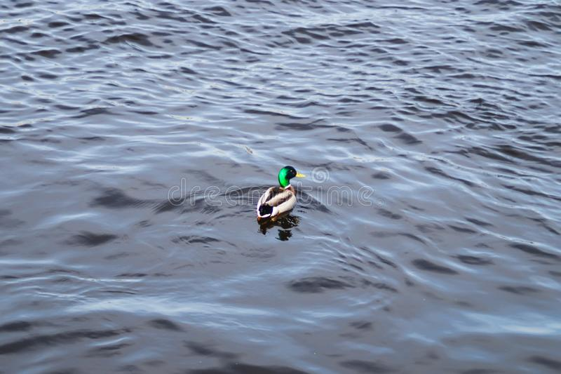 Floating colorful duck. mallard in the water. Floating colorful duck. mallard swimming in the water, animal, beak, beautiful, bird, feather, lake, male, nature royalty free stock image