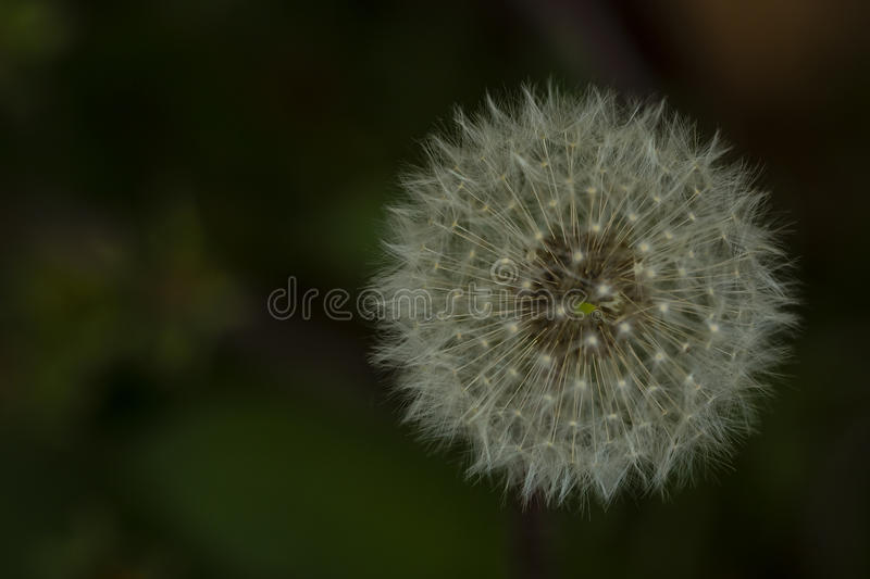 Floating Dandelion Puffball stock photography