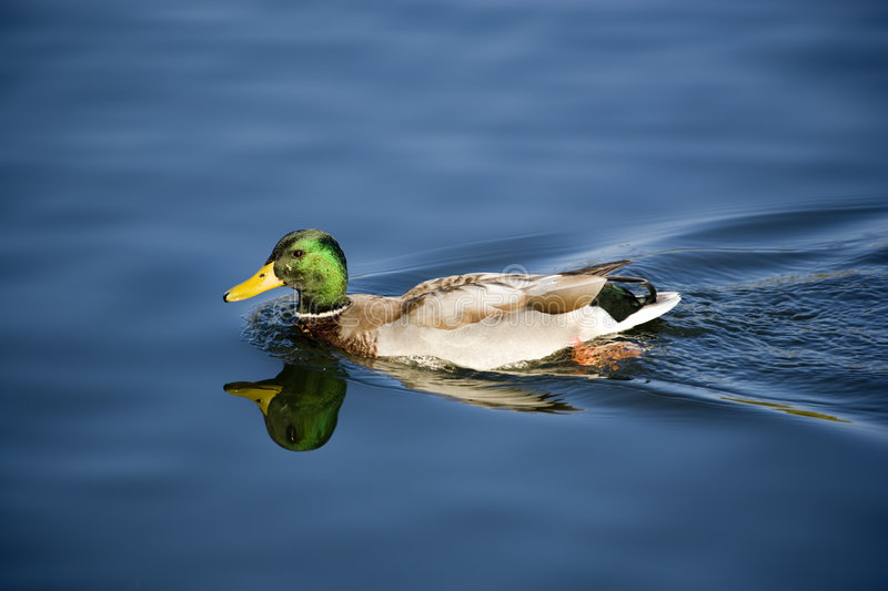 Floating duck royalty free stock photo