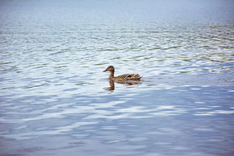 Floating duck on a blue lake stock photos