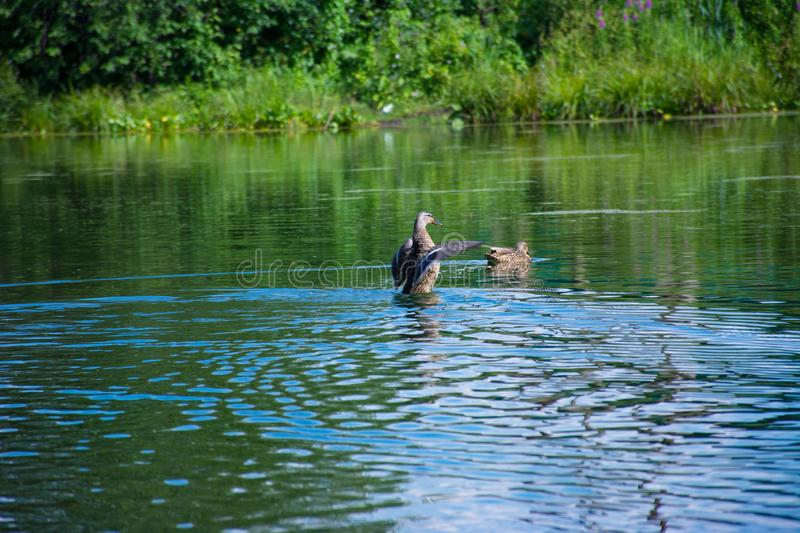 Floating duck on a blue lake stock photo