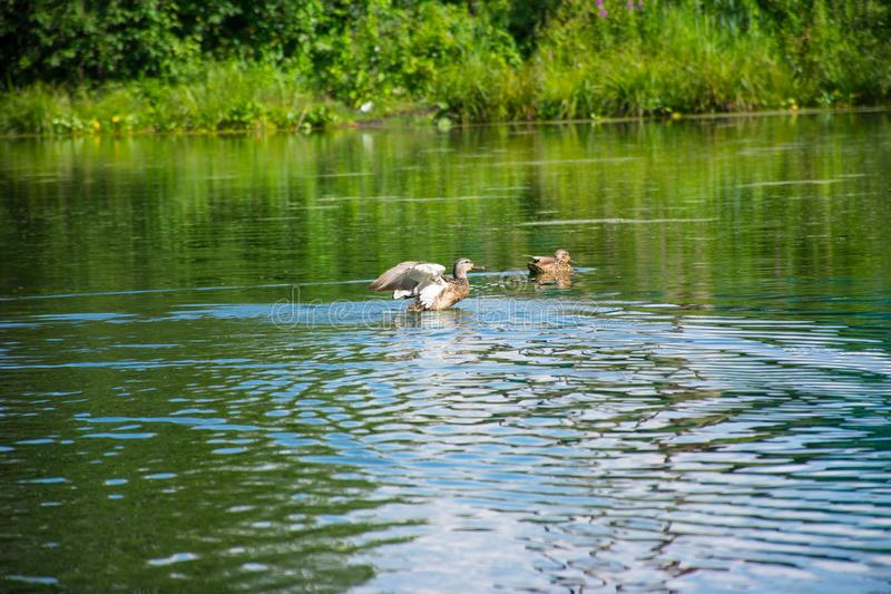 Floating duck on a blue lake royalty free stock photos