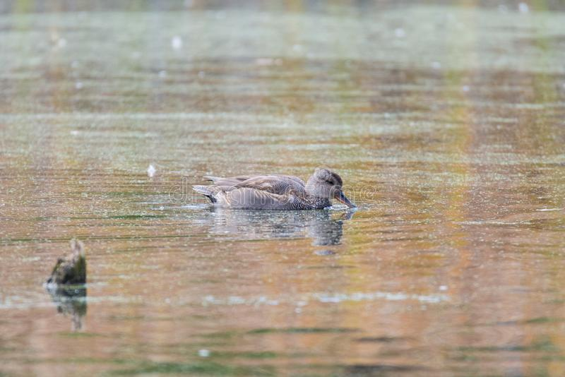 Floating Gadwall. A picture of a floating Gadwall duck on a lake in the fall time stock photos