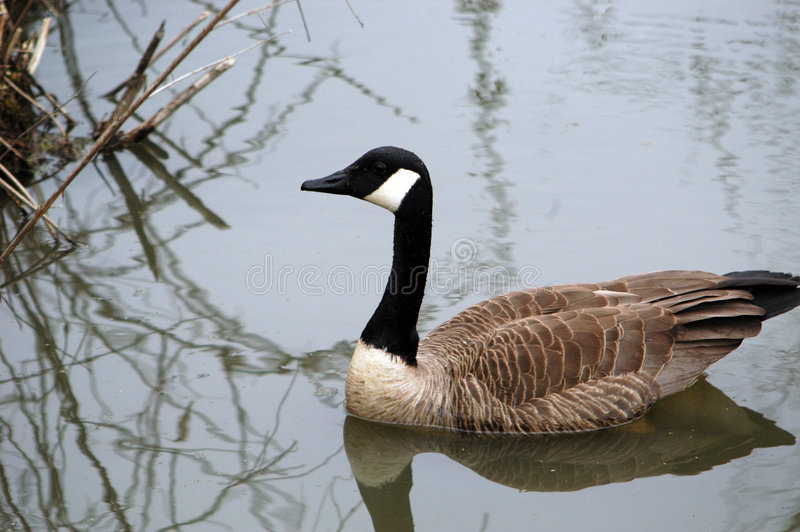Download Floating Goose stock photo. Image of fowl, waterfowl, feathers - 2324