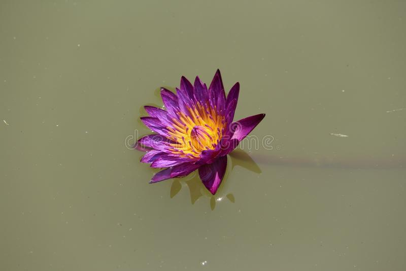 Floating intense purple water lily. Floating water lily deep colour stock photo