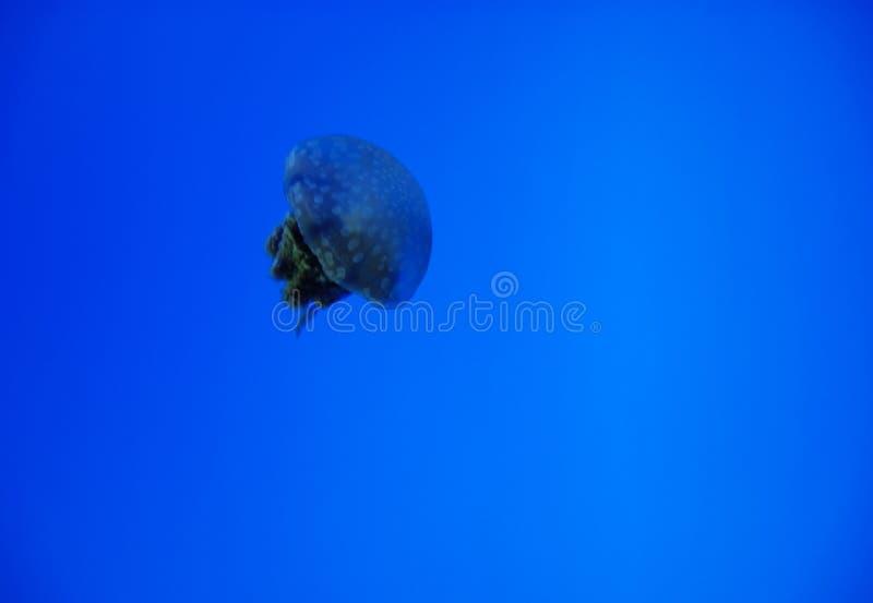 Floating Jellyfish stock photos