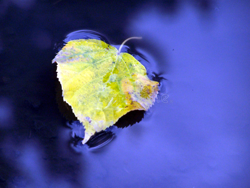 Floating Leaf. Leave alone on a pond stock photo