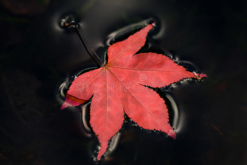 Floating leaf. Red leaf floating on inky black water royalty free stock photos