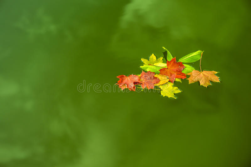 Floating leaves on green water