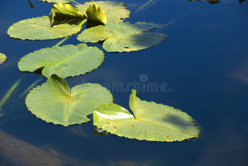 Floating Lily Pads. Group of floating water lily pads in a high, cold lake in the Rocky Mountains stock photos