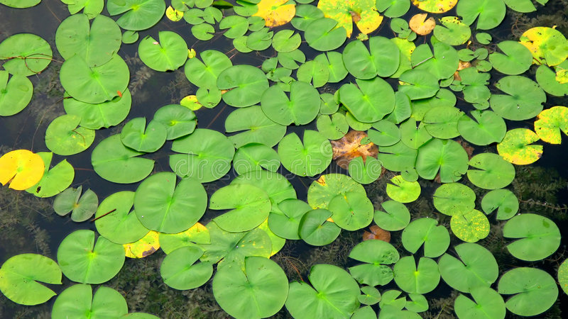 Floating lily pads. A view of a group of green lily pads floating floating on water royalty free stock photo