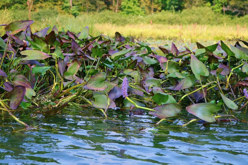 Floating through the Lily Pads. Kayaking on the water floating among the lily pads while fishing stock photos