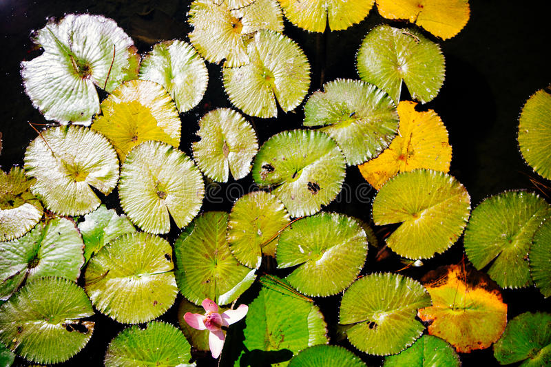 Floating lily pads with a single pink flower. Floating lily pads with a single pink lotus flower on the surface of a calm garden pond or lake showing yellowing royalty free stock photo