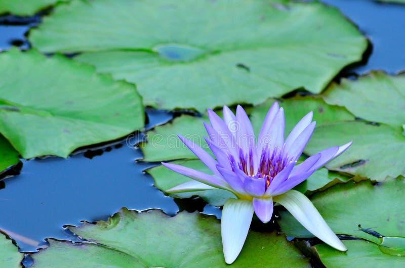 Floating Lotus. royalty free stock photos