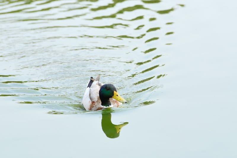 Floating Mallard Royalty Free Stock Photography