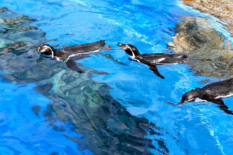 Download Floating penguins stock photo. Image of swimming, blue - 26610590