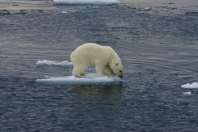 Download Floating Polar Bear Cub Before Jump 3 Stock Photo - Image: 7157412