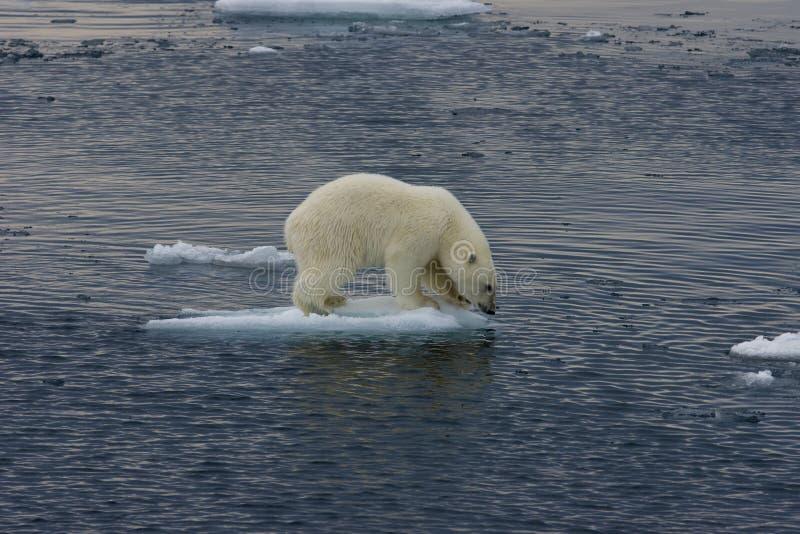 Floating Polar bear cub before jump 3 stock photography