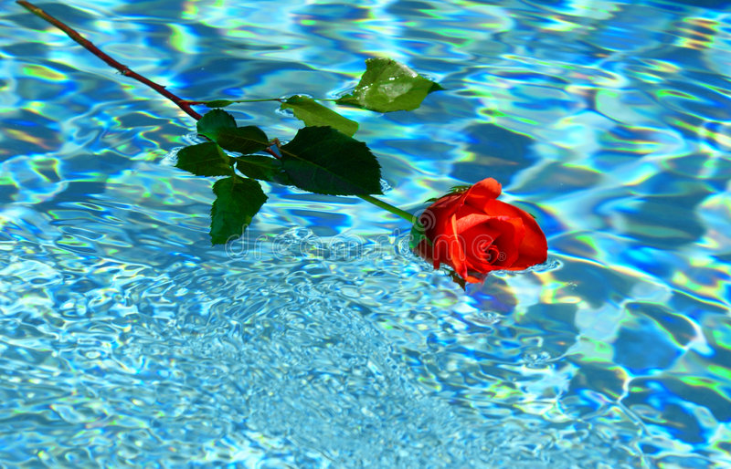 Floating rose. Red rose floating in water royalty free stock image